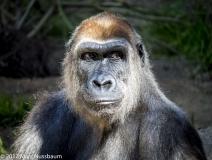 Self Portrait-Gorilla