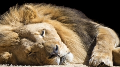 One Eye Open- Lion