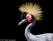 West African Crested Crane